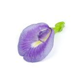 Purpurfärgad blomma för fjärilsärta arkivbild