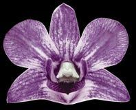 Purpurfärgad blomma för orkidé, svart isolerad bakgrund med urklippbanan closeup Inget skuggar För design arkivbild