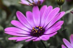 Purpurfärgad blomma Margarita Dark Pink, oavkortad blom royaltyfri bild