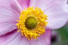 Purpurfärgad blomma med den gula blomningen arkivfoto