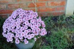 Purpurfärgad blommablom i morgonen arkivbilder