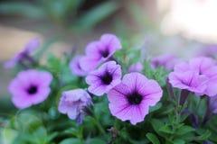 Purpurfärgad blommablom i morgonen arkivfoton