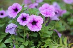 Purpurfärgad blommablom i morgonen arkivbild