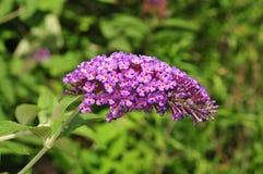 Purpurfärgad blommaklunga av fjärilsbusken Arkivbild