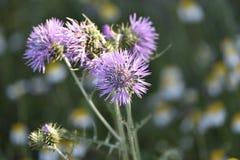 Purpurfärgad blommakronbladvisare som bildar den lilla blomman fotografering för bildbyråer