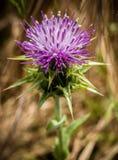 Purpurfärgad blommande blomma i landskap Arkivfoto