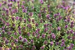 Purpurfärgad blommande groundcovertimjan Blomninggroundcoverväxter Arkivbild