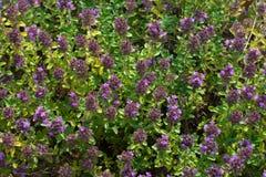 Purpurfärgad blommande groundcovertimjan Blomninggroundcoverväxter Fotografering för Bildbyråer