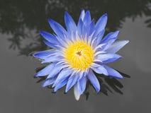 Purpurfärgad blomning för lotusblommablomma. Arkivfoton