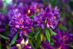 Purpurfärgad blomningrhododendron i trädgården Royaltyfria Bilder