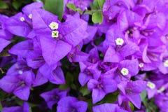 Purpurfärgad bougainvillea på morgon royaltyfri foto