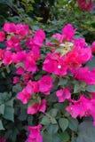 Purpurfärgad bougainvillea på morgon royaltyfri bild