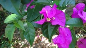 Purpurfärgad Bougainvilleablomma Arkivfoton