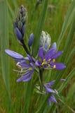 Purpurfärgad Camas lilja Arkivfoto