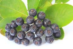 Purpurfärgad chokeberry royaltyfri bild