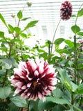 Purpurfärgad chrysanthemum royaltyfri bild