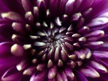 Purpurfärgad chrysanthemum royaltyfria bilder