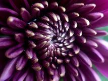 Purpurfärgad chrysanthemum arkivfoton