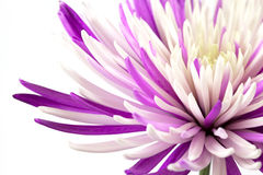 Purpurfärgad chrysanthemum. Isolerat på vitbakgrund Arkivbilder