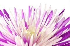Purpurfärgad chrysanthemum. Isolerat på vitbakgrund Fotografering för Bildbyråer