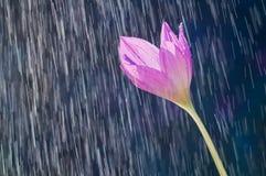 Purpurfärgad colchicum för blomma för höstkrokus som är höstlig på backgrouen Fotografering för Bildbyråer