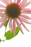 Purpurfärgad coneflower royaltyfria bilder