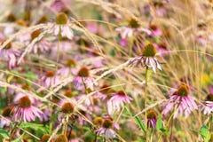 Purpurfärgad coneflower som är blandad med gräs royaltyfri foto