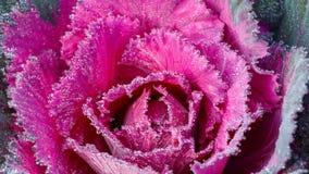 Purpurfärgad dekorativ blomkål för bakgrund royaltyfri foto