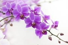 Purpurfärgad Dendrobiumorkidé med mjukt ljus royaltyfri foto