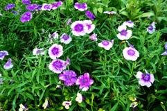 Purpurfärgad Dianthusblomma Royaltyfria Bilder
