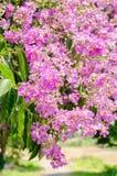 Purpurfärgad färg av Lagerstroemiaspeciosablomman i utomhus- parkerar royaltyfria foton