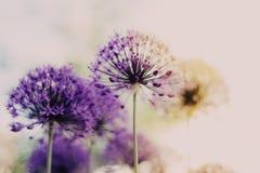 Purpurfärgad färgmaskros royaltyfria foton