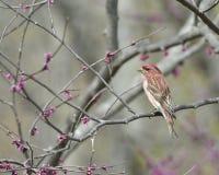 Purpurfärgad Finch Royaltyfri Fotografi