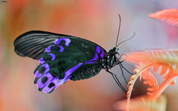 Purpurfärgad fjäril Royaltyfri Bild