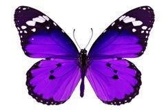 Purpurfärgad fjäril royaltyfria foton