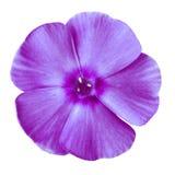 Purpurfärgad flox för blomma som isoleras på vit bakgrund Närbild element för klockajuldesign arkivbild