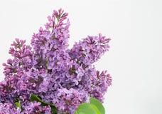 Purpurfärgad friskhet Royaltyfri Fotografi