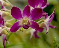 Purpurfärgad fruktträdgård Royaltyfri Bild