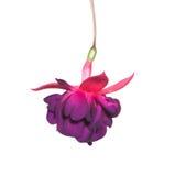 Purpurfärgad fuchsia på vit Royaltyfria Foton