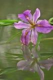 Purpurfärgad gladiolusblomma för blomning Royaltyfria Foton