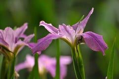 Purpurfärgad gladiolusblomma för blomning Arkivbilder