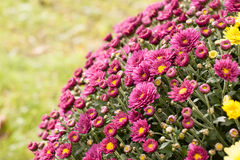 Purpurfärgad glans Royaltyfri Fotografi