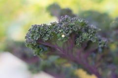 Purpurfärgad grönkål som växer i en utomhus- trädgård Royaltyfri Foto