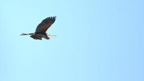 Purpurfärgad hägerArdeapurpurea på Plaiaundi Arkivfoto