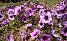 Purpurfärgad härlighet av morgonen på prinsen Edward Island Royaltyfria Bilder