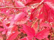 Purpurfärgad höstbuske Royaltyfria Bilder