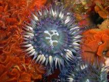 Purpurfärgad havsanemon som omges av den flöjtlika bryozoanen Royaltyfri Bild