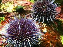 Purpurfärgad havsgatubarn Fotografering för Bildbyråer