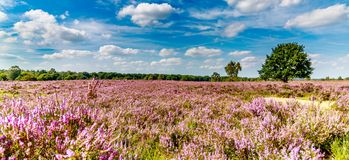 Purpurfärgad hed med en blå himmel med moln fotografering för bildbyråer