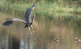 Purpurfärgad Heron Royaltyfria Foton